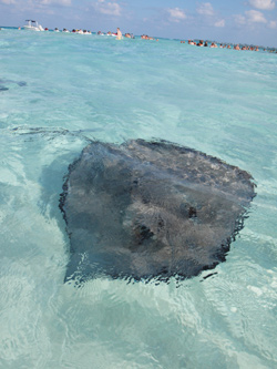 Stingray Grand Cayman